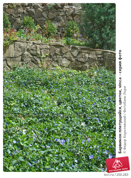 Барвинок плетущийся, цветок, vinca  - серия фото, фото № 250283, снято 12 апреля 2008 г. (c) Федор Королевский / Фотобанк Лори