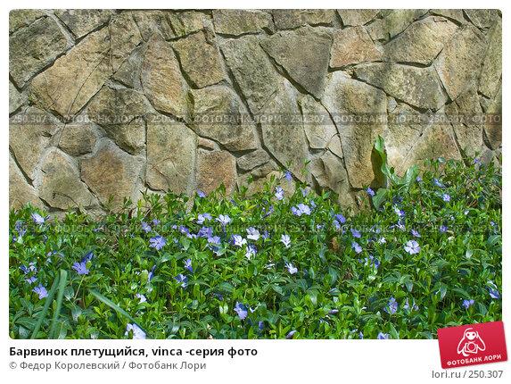 Барвинок плетущийся, vinca -серия фото, фото № 250307, снято 12 апреля 2008 г. (c) Федор Королевский / Фотобанк Лори