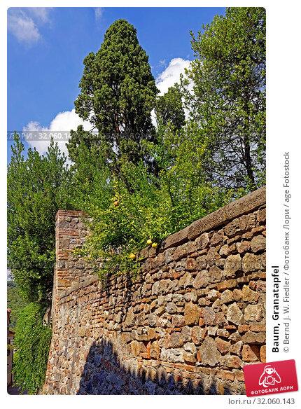 Baum, Granatapfel. Стоковое фото, фотограф Bernd J. W. Fiedler / age Fotostock / Фотобанк Лори