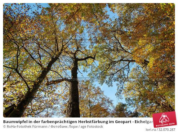 Baumwipfel in der farbenprächtigen Herbstfärbung im Geopart - Eichelgarten in Teisendorf ,Eichen und Buchen. Стоковое фото, фотограф RoHa-Fotothek Fürmann / age Fotostock / Фотобанк Лори