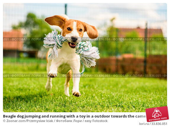Купить «Beagle dog jumping and running with a toy in a outdoor towards the camera», фото № 33836051, снято 4 июня 2020 г. (c) easy Fotostock / Фотобанк Лори