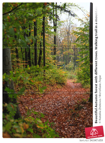 Купить «Beautiful Autumn forest with different trees. Walking trail in a mountain forest. Deciduous forest. A wood or forest in leaf.», фото № 34047659, снято 30 октября 2019 г. (c) Nataliia Zhekova / Фотобанк Лори