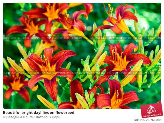 Beautiful bright daylilies on flowerbed, фото № 26761843, снято 6 августа 2017 г. (c) Володина Ольга / Фотобанк Лори