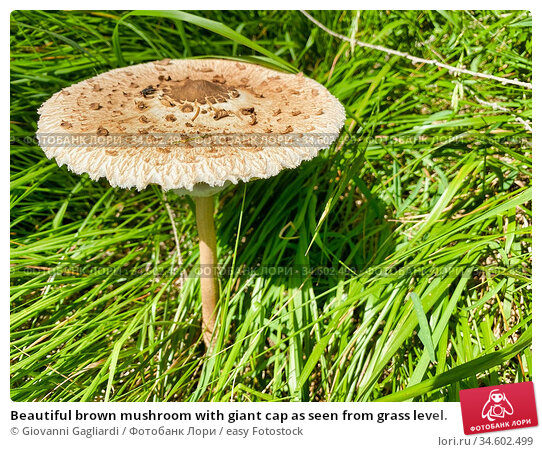 Beautiful brown mushroom with giant cap as seen from grass level. Стоковое фото, фотограф Giovanni Gagliardi / easy Fotostock / Фотобанк Лори