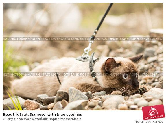 Купить «Beautiful cat, Siamese, with blue eyes lies», фото № 27761927, снято 19 октября 2018 г. (c) PantherMedia / Фотобанк Лори