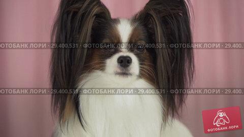 Купить «Beautiful dog Papillon close up barks stock footage video», видеоролик № 29400531, снято 8 ноября 2018 г. (c) Юлия Машкова / Фотобанк Лори