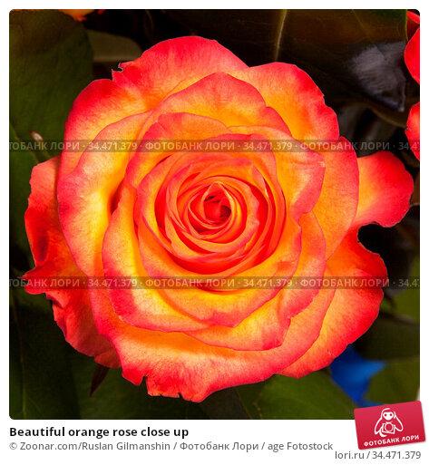Beautiful orange rose close up. Стоковое фото, фотограф Zoonar.com/Ruslan Gilmanshin / age Fotostock / Фотобанк Лори