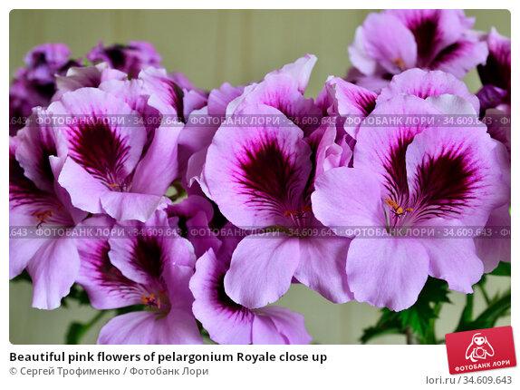 Beautiful pink flowers of pelargonium Royale close up. Стоковое фото, фотограф Сергей Трофименко / Фотобанк Лори