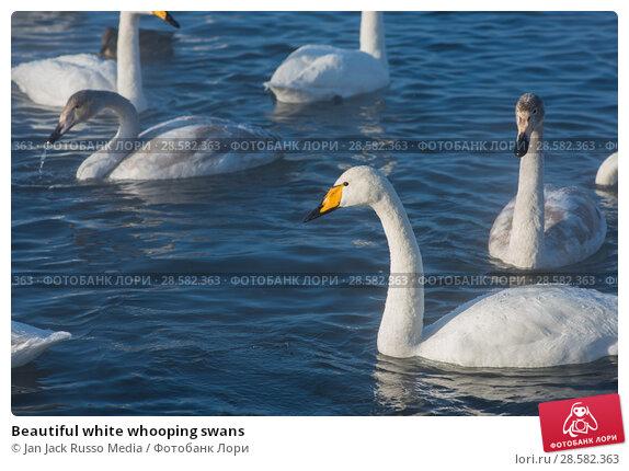 Купить «Beautiful white whooping swans», фото № 28582363, снято 8 января 2018 г. (c) Jan Jack Russo Media / Фотобанк Лори