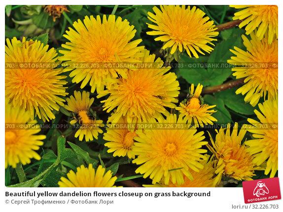Beautiful yellow dandelion flowers closeup on grass background. Стоковое фото, фотограф Сергей Трофименко / Фотобанк Лори
