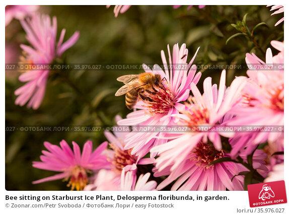 Bee sitting on Starburst Ice Plant, Delosperma floribunda, in garden. Стоковое фото, фотограф Zoonar.com/Petr Svoboda / easy Fotostock / Фотобанк Лори