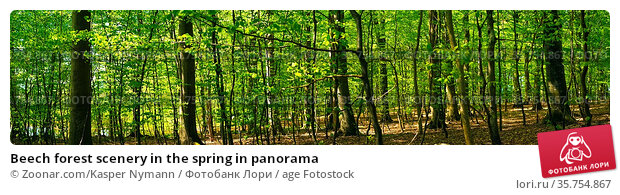 Beech forest scenery in the spring in panorama. Стоковое фото, фотограф Zoonar.com/Kasper Nymann / age Fotostock / Фотобанк Лори