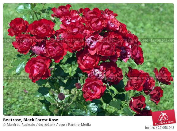 Купить «Beetrose, Black Forest Rose», фото № 22058943, снято 21 апреля 2019 г. (c) PantherMedia / Фотобанк Лори