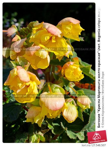 """Купить «Бегония """"Криспа Маргината желто-красная"""" (лат. Begonia crispa marginata Yellow and Red) цветет в саду», фото № 27548507, снято 20 августа 2017 г. (c) Елена Коромыслова / Фотобанк Лори"""