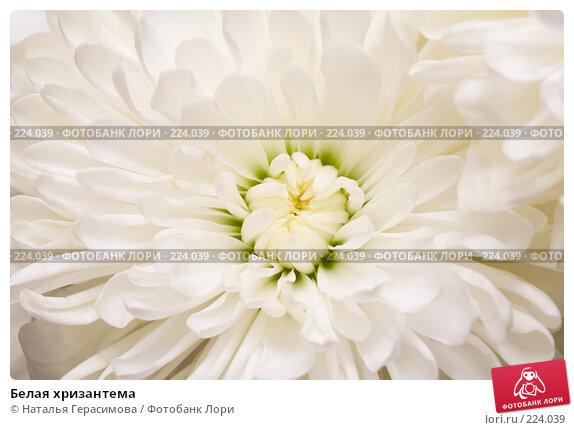 Белая хризантема, фото № 224039, снято 15 марта 2008 г. (c) Наталья Герасимова / Фотобанк Лори