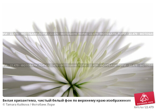 Белая хризантема, чистый белый фон по верхнему краю изображения, фото № 22479, снято 10 марта 2007 г. (c) Tamara Kulikova / Фотобанк Лори