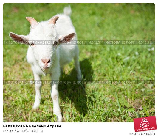 Купить «Белая коза на зеленой траве», фото № 6313311, снято 26 июля 2014 г. (c) Екатерина Овсянникова / Фотобанк Лори