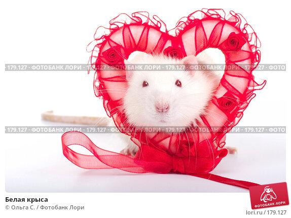 Белая крыса, фото № 179127, снято 29 ноября 2007 г. (c) Ольга С. / Фотобанк Лори