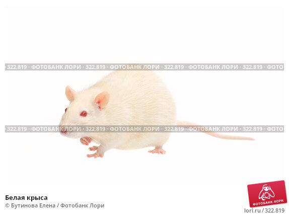 Белая крыса, фото № 322819, снято 24 марта 2008 г. (c) Бутинова Елена / Фотобанк Лори