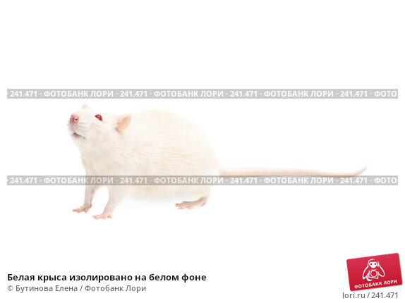 Белая крыса изолировано на белом фоне, фото № 241471, снято 18 января 2017 г. (c) Бутинова Елена / Фотобанк Лори