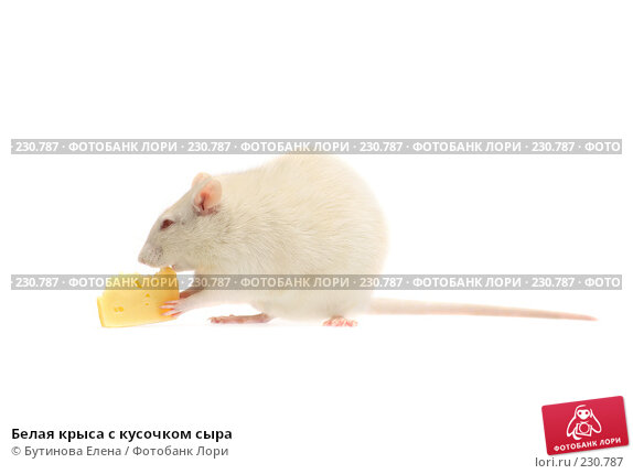 Белая крыса с кусочком сыра, фото № 230787, снято 24 марта 2008 г. (c) Бутинова Елена / Фотобанк Лори