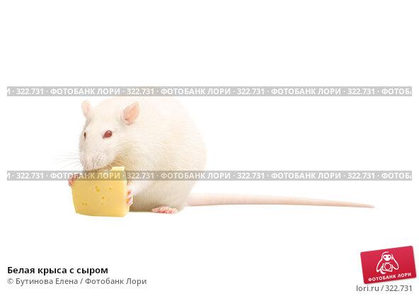 Белая крыса с сыром, фото № 322731, снято 24 марта 2008 г. (c) Бутинова Елена / Фотобанк Лори