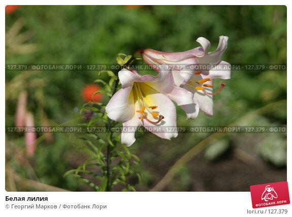 Белая лилия, фото № 127379, снято 28 июля 2005 г. (c) Георгий Марков / Фотобанк Лори