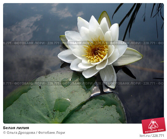 Купить «Белая лилия», фото № 228771, снято 15 августа 2007 г. (c) Ольга Дроздова / Фотобанк Лори