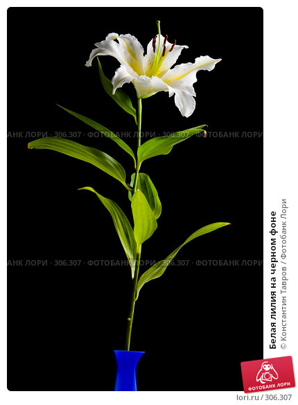 Белая лилия на черном фоне, фото № 306307, снято 13 июля 2007 г. (c) Константин Тавров / Фотобанк Лори