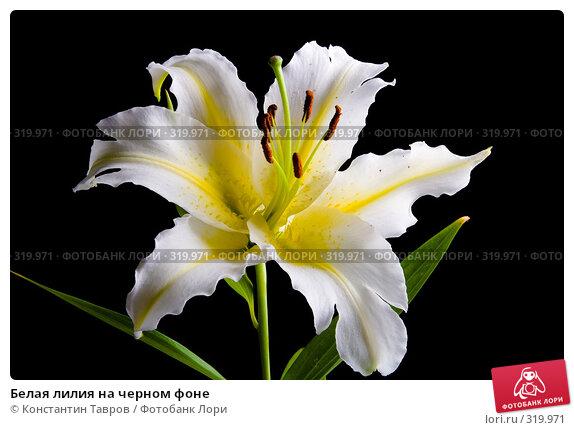 Белая лилия на черном фоне, фото № 319971, снято 13 июля 2007 г. (c) Константин Тавров / Фотобанк Лори