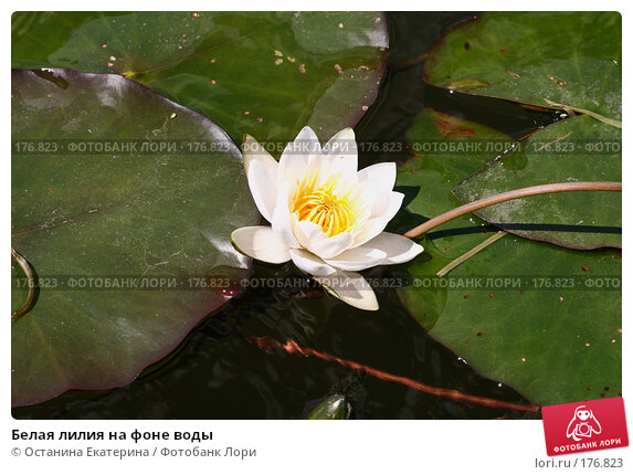 Белая лилия на фоне воды, фото № 176823, снято 24 июня 2007 г. (c) Останина Екатерина / Фотобанк Лори