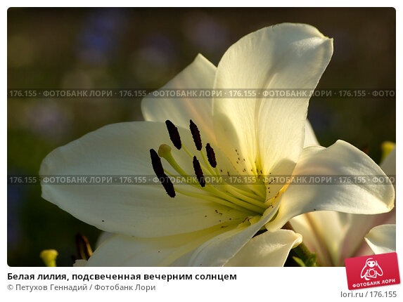 Белая лилия, подсвеченная вечерним солнцем, фото № 176155, снято 24 июля 2007 г. (c) Петухов Геннадий / Фотобанк Лори