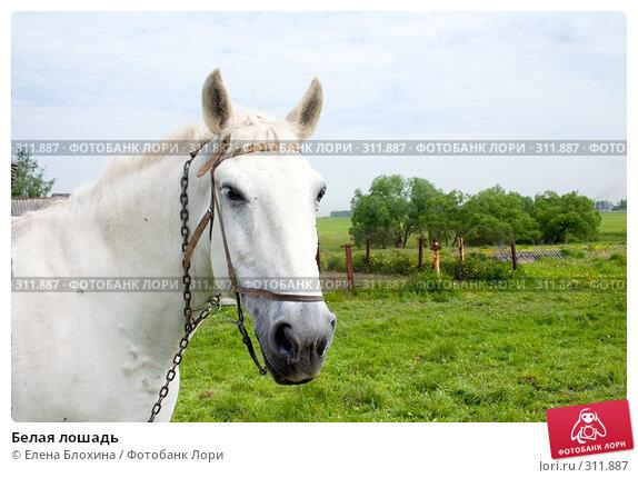 Белая лошадь, фото № 311887, снято 29 мая 2008 г. (c) Елена Блохина / Фотобанк Лори