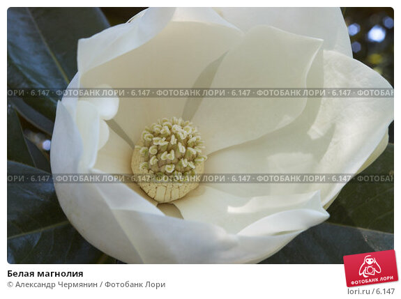 Купить «Белая магнолия», фото № 6147, снято 17 июля 2006 г. (c) Александр Чермянин / Фотобанк Лори
