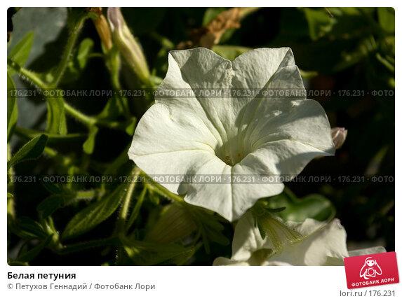 Белая петуния, фото № 176231, снято 23 июня 2007 г. (c) Петухов Геннадий / Фотобанк Лори