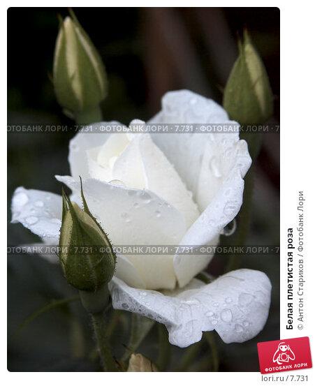 Белая плетистая роза, фото № 7731, снято 22 июня 2006 г. (c) Антон Стариков / Фотобанк Лори