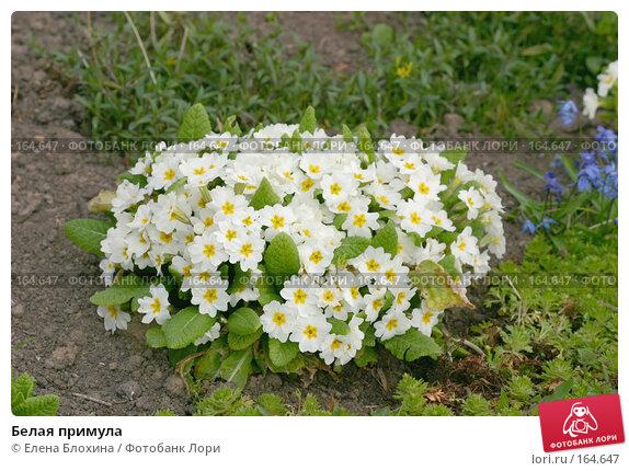 Купить «Белая примула», фото № 164647, снято 27 апреля 2007 г. (c) Елена Блохина / Фотобанк Лори