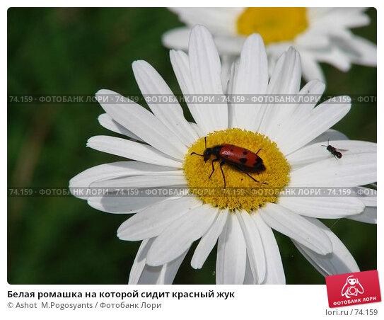 Белая ромашка на которой сидит красный жук, фото № 74159, снято 30 июня 2007 г. (c) Ashot  M.Pogosyants / Фотобанк Лори
