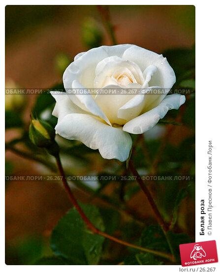 Белая роза, фото № 26267, снято 23 июня 2006 г. (c) Павел Преснов / Фотобанк Лори