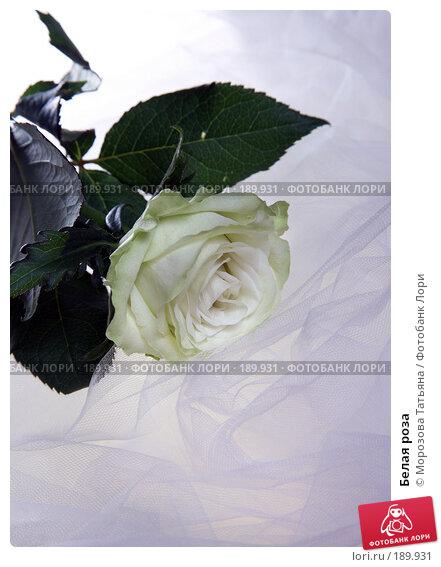 Белая роза, фото № 189931, снято 14 января 2008 г. (c) Морозова Татьяна / Фотобанк Лори