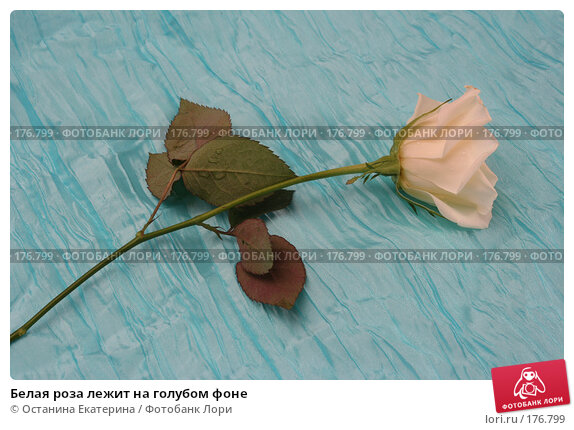 Белая роза лежит на голубом фоне, фото № 176799, снято 15 января 2008 г. (c) Останина Екатерина / Фотобанк Лори