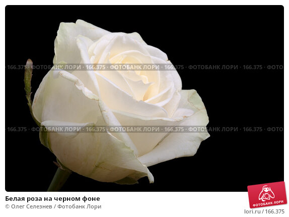 Белая роза на черном фоне, фото № 166375, снято 2 января 2008 г. (c) Олег Селезнев / Фотобанк Лори
