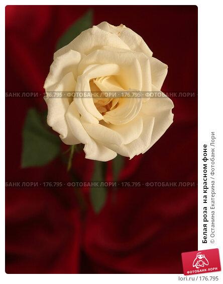 Купить «Белая роза  на красном фоне», фото № 176795, снято 15 января 2008 г. (c) Останина Екатерина / Фотобанк Лори
