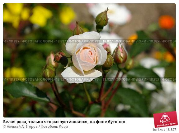 Белая роза, только что распустившаяся, на фоне бутонов, фото № 18827, снято 3 января 2006 г. (c) Алексей А. Егоров / Фотобанк Лори