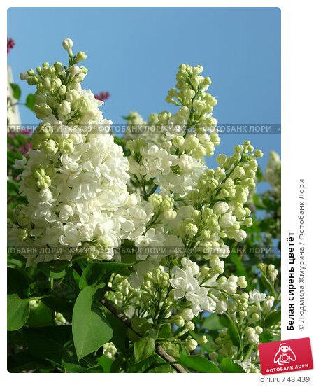 Белая сирень цветёт, фото № 48439, снято 29 мая 2007 г. (c) Людмила Жмурина / Фотобанк Лори