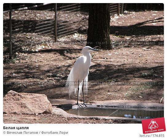 Белая цапля, фото № 174815, снято 11 октября 2006 г. (c) Вячеслав Потапов / Фотобанк Лори