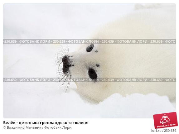 Купить «Белёк - детеныш гренландского тюленя», фото № 230639, снято 11 марта 2008 г. (c) Владимир Мельник / Фотобанк Лори