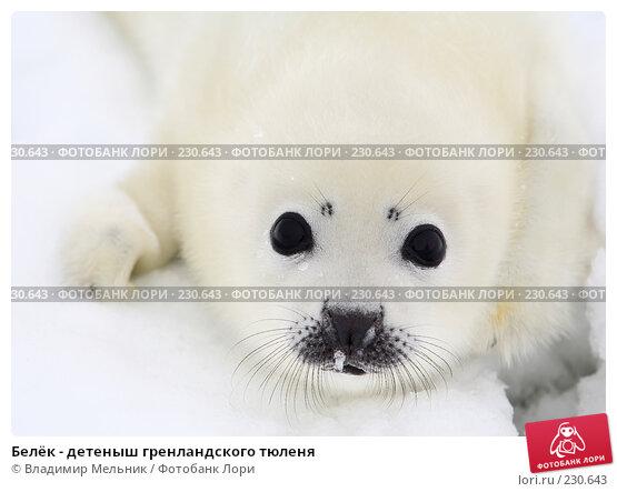 Белёк - детеныш гренландского тюленя, фото № 230643, снято 11 марта 2008 г. (c) Владимир Мельник / Фотобанк Лори