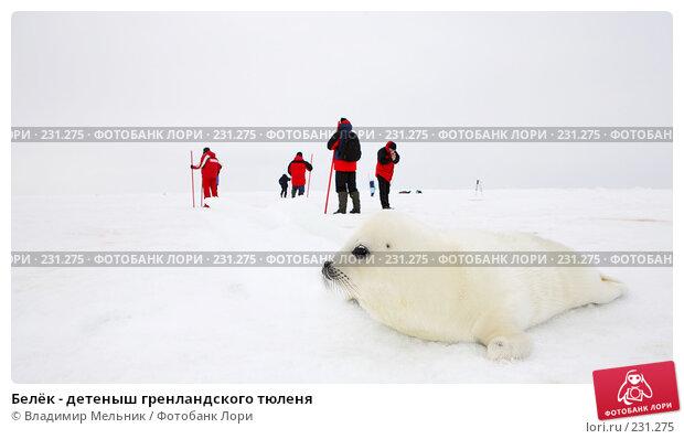 Белёк - детеныш гренландского тюленя, фото № 231275, снято 11 марта 2008 г. (c) Владимир Мельник / Фотобанк Лори