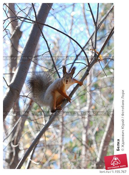 Купить «Белка», фото № 1155767, снято 7 октября 2009 г. (c) Жданович Юрий / Фотобанк Лори